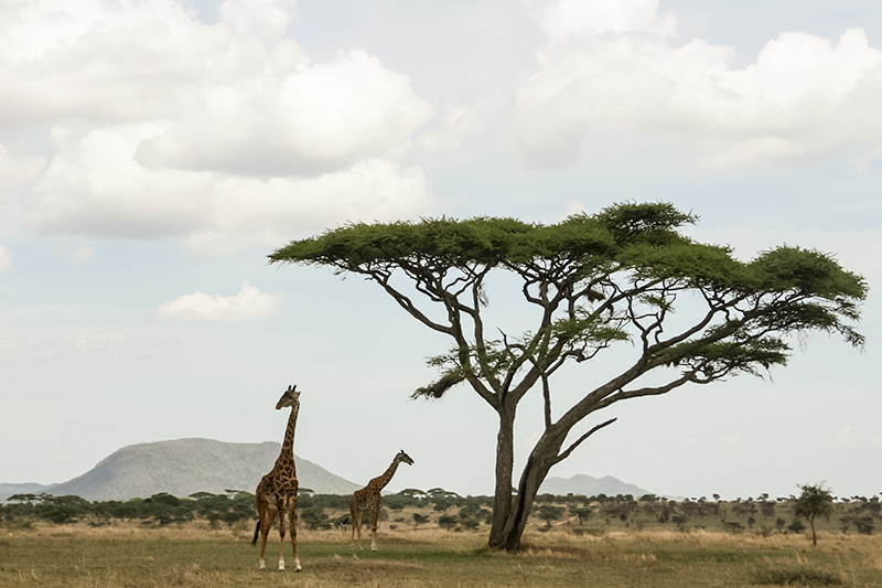 Giraffes grazing under an Acacia tree in the Serengeti, Tanzania