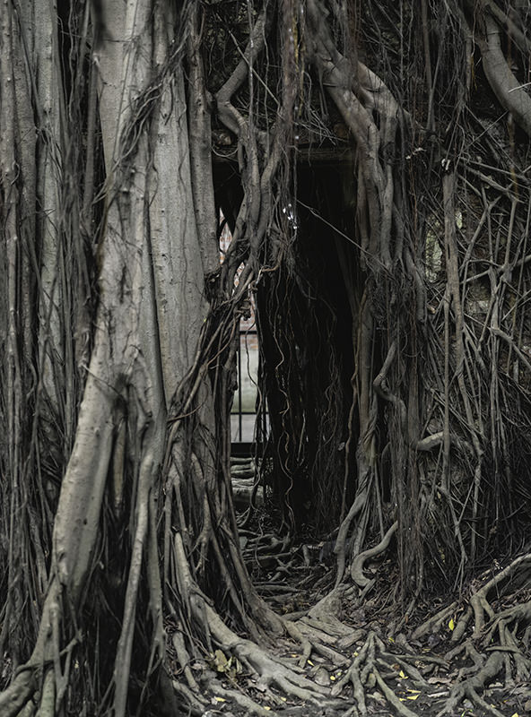 The merchant building almost totally hidden in places by the limbs, vines and tresses of the banyan tree
