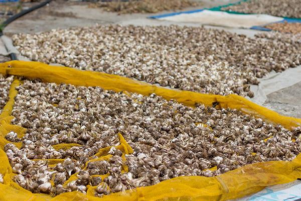 Garlic Drying, Bijindo Island, Korea