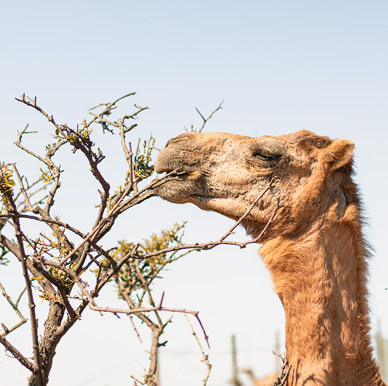 A camel chewing on some branches