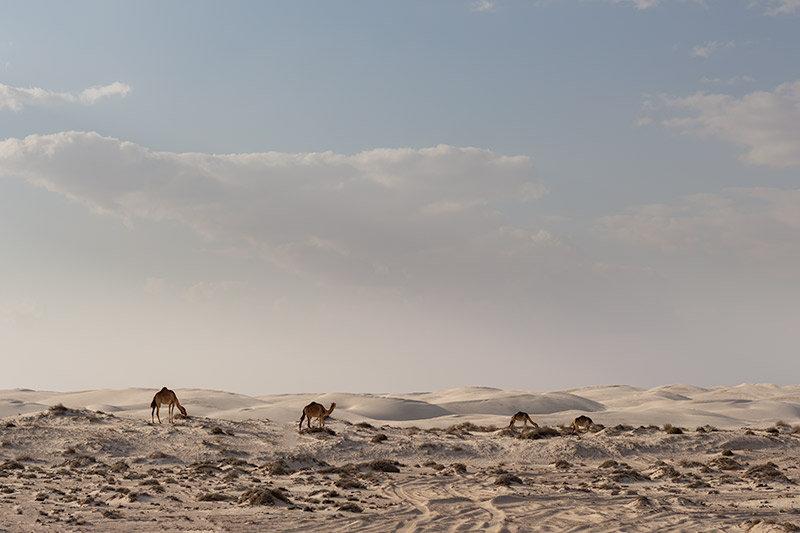 Camels grazing on clumps of tough grass below the Sugar Dunes