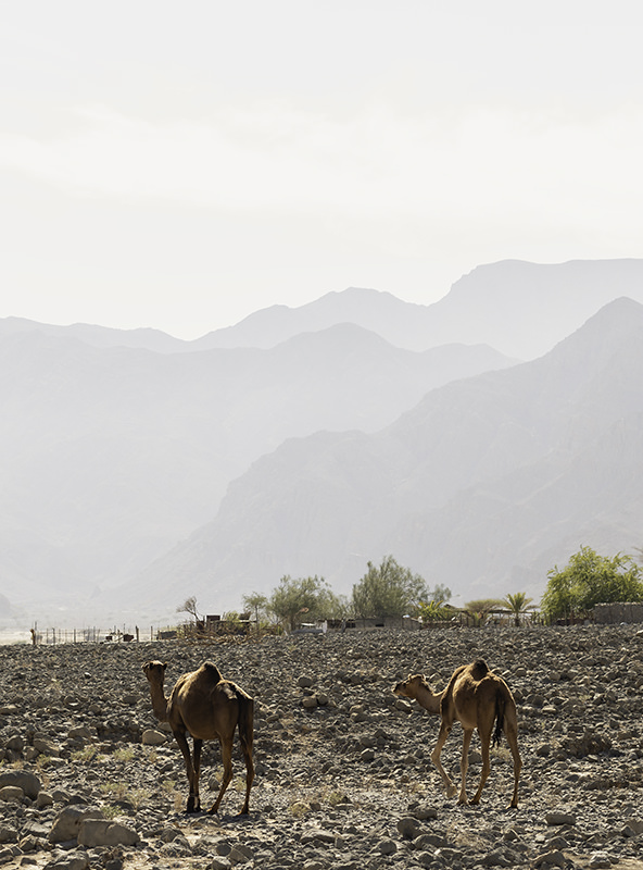 Camels in A'Rowdhah Bowl, walking on rocky ground with hazy mountains in the distance