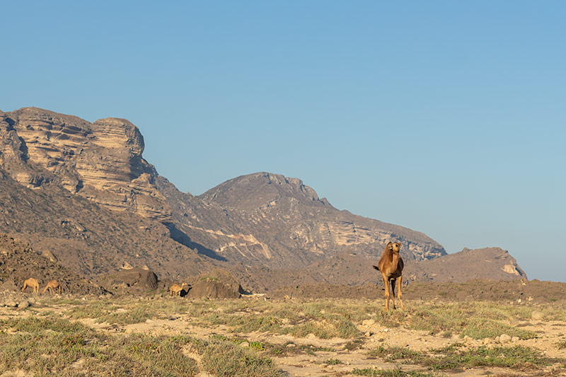 Camels just love to roam, especially on Fazayah Beach. A solitary camel heads toward us, the mountains rising behind.