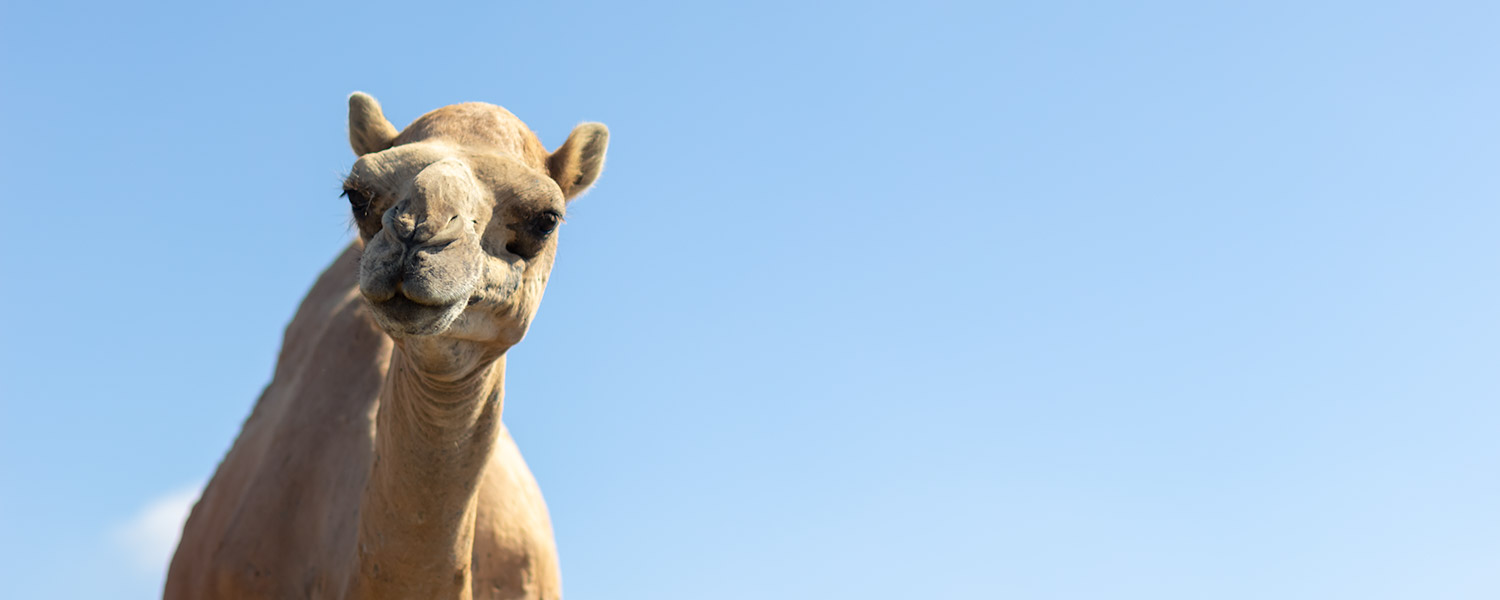 A camels head against a blue sky background in Salalah, Oman