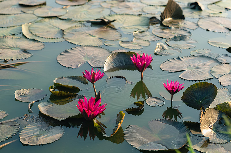 Four dark pink water lily flowers rise from among the floating pads in Ayutthaya, Thailand.