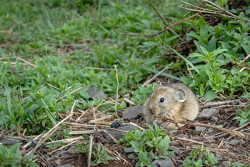 7 Days in the Gobi: A Pika in the Gobi, Mongolia