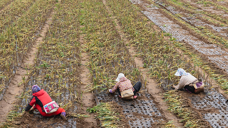 Women are squatting in a field picking shallots
