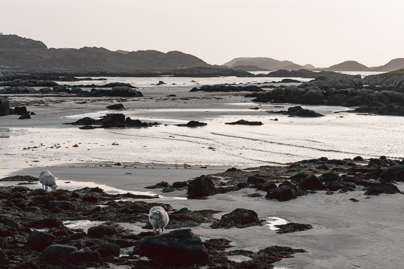 Sheep wander among the sand and rocks of a quiet Fidden Beach on the Isle of Mull.