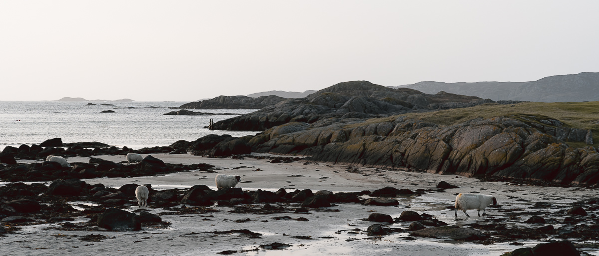Sheep on the beach at low tide at Fidden Farm on the Isle of Mull
