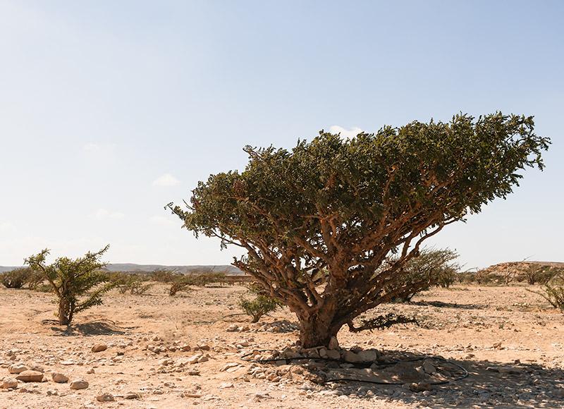 A frankincense tree at a plantation north of Salalah