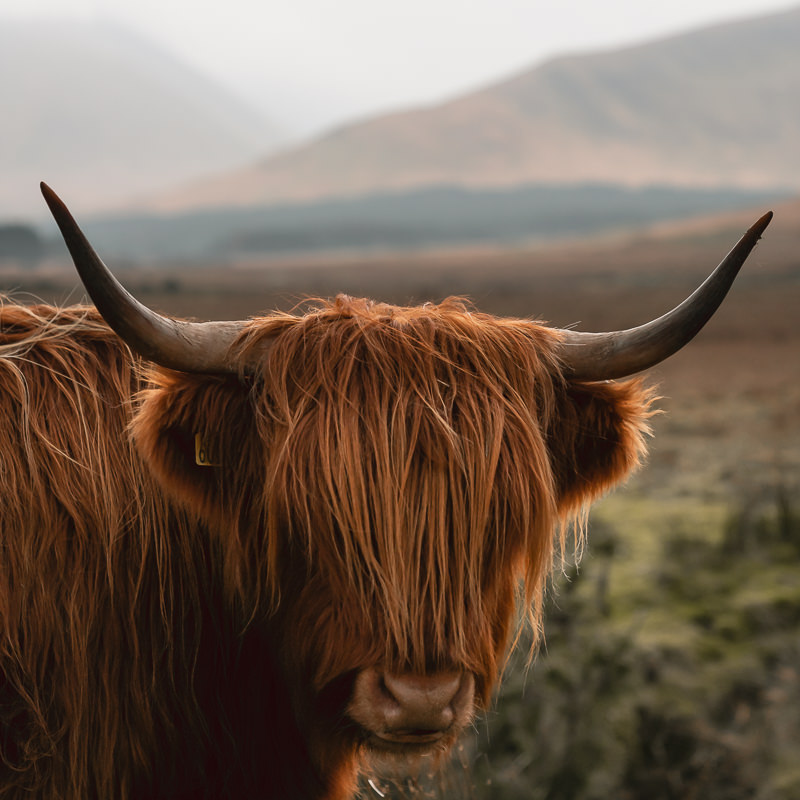 A long haired highland cow with its eyes hidden in Glen Forsa on the Isle of Mull.