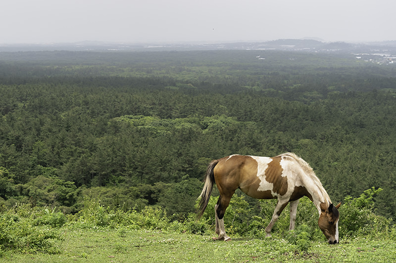 A horse grazing on Mundoji Oreum on Route 14-1 of the Jeju Olle Trail