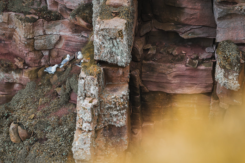 Birds make their nest along the rugged red cliffs on the west coast of Hoy in the Orkney Islands