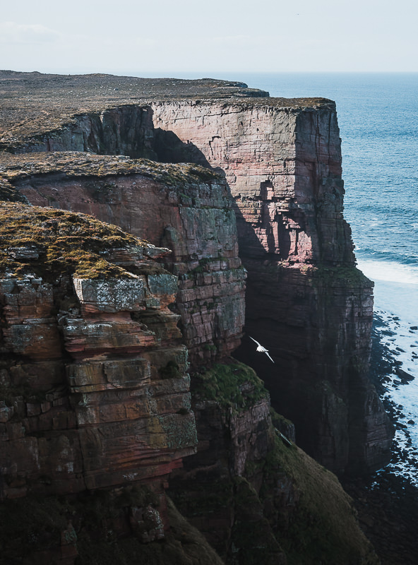 A white bird swoops below towering cliffs on the west coast of Hoy in the Orkney Islands