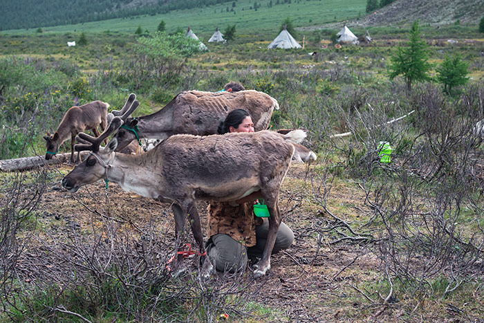 The Essential Guide to Visiting the Tsaatan Reindeer Herders, Mongolia