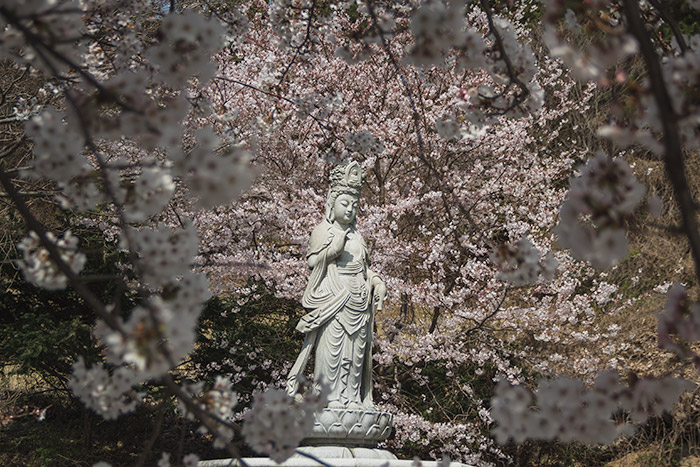 Tongyeong: The buddhist statue behind Samcheonbulsa, encircled by cherry blossoms in Spring