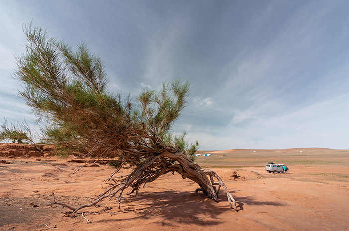 Budget Gobi Tour: The saxual trees in the Gobi, Mongolia