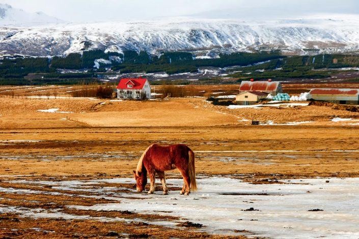 A week in Iceland - Lone horse in a field below snowy mountains, Golden Circle, Iceland