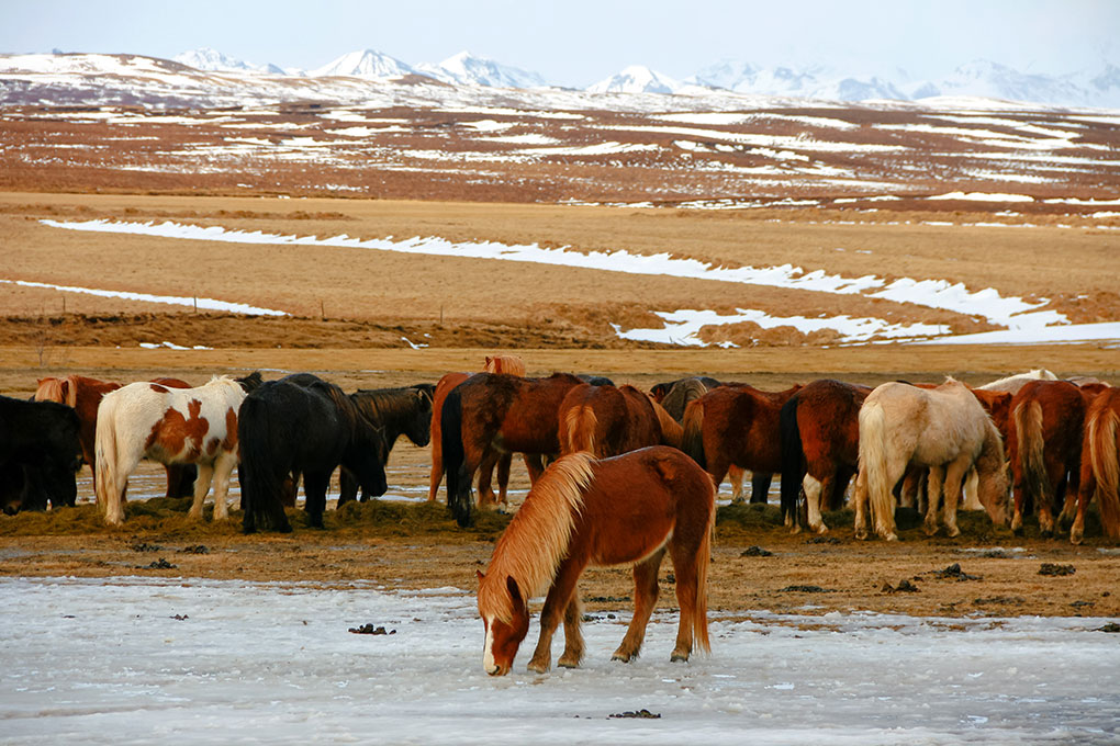 A week in Iceland - Horses, Golden Circle, Iceland