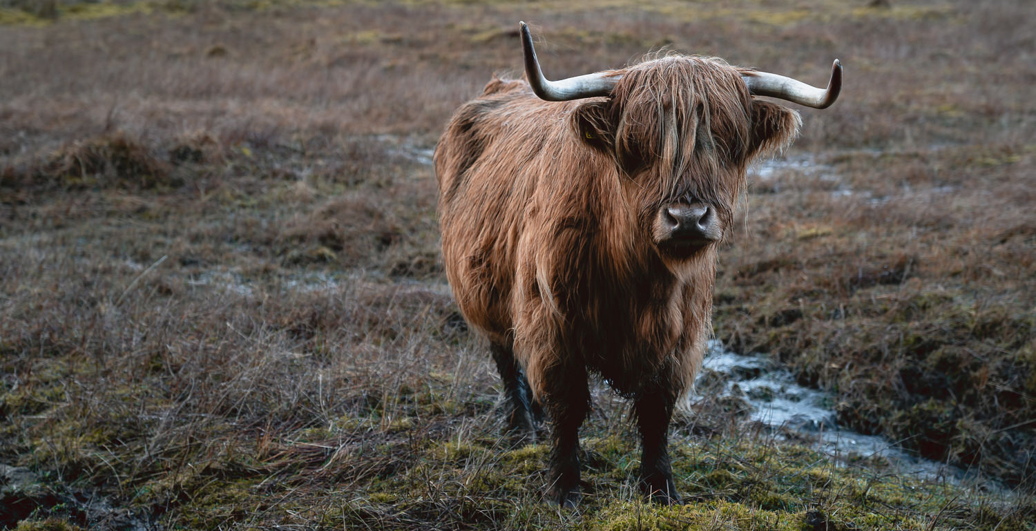 A nervous looking highland cow stares back from the muddy ground.