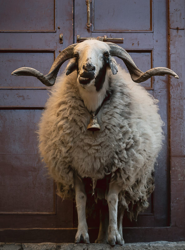 A large ram with curly horns and a bell around its neck, standing on stone steps in the streets of Kagbeni