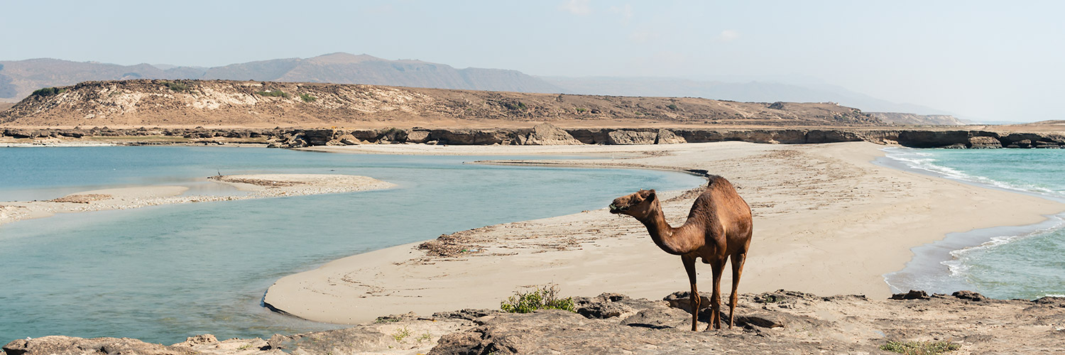 A camel standing in front of a strip of golden sand where Khor Rori meets the sea