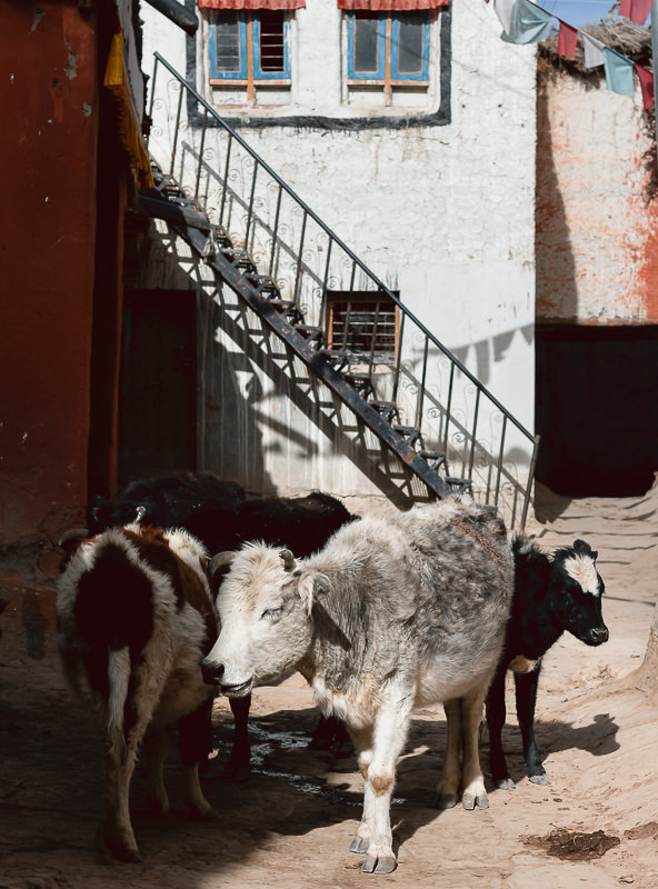 Cows block the way on the narrow lanes of Lo Manthang in Upper Mustang.