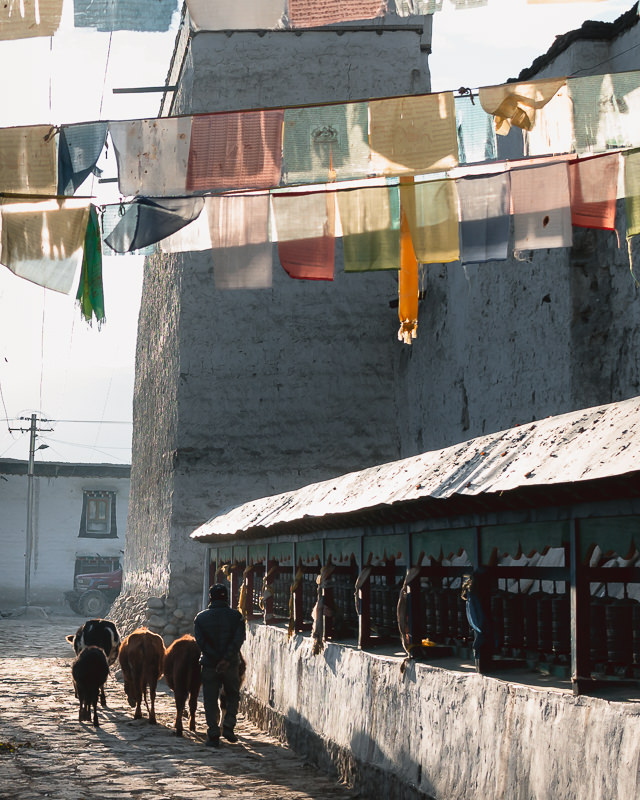 A man taking his cows to graze wanders under colourful prayer flags strung across the streets of Lo Manthang