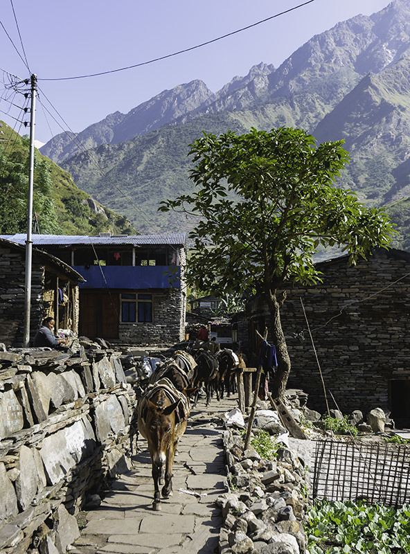 Mules plod along the flagstoned path in a sun drenched village in the Manaslu Region of Nepal
