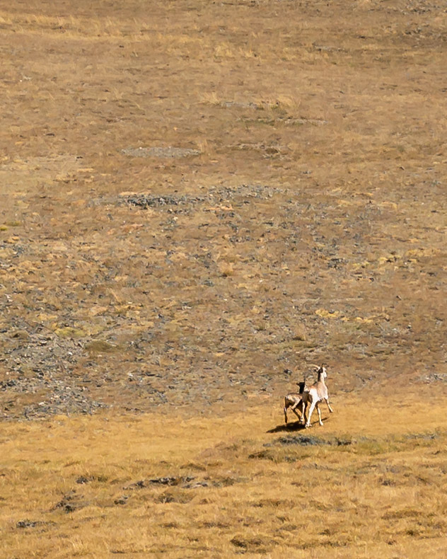 Two Marco Polo (Argali) sheep run for the safety of the hills