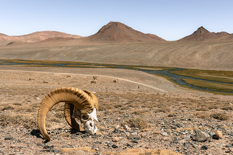 The skull of a Marco Polo sheep sits high on the hill above the river valley at Jarty Gumbez