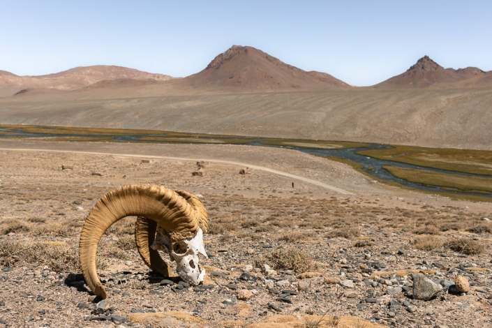 The skull of a Marco Polo sheep sitting on a stony hill above the Istyk River at Jarty Gumbez in Eastern Tajikistan