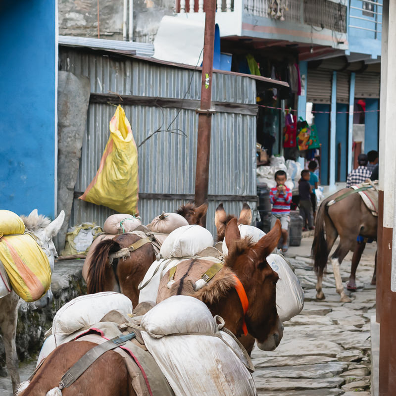 Several laden mules make their way along the flagstoned central street of Machakhola on the Manaslu Circuit Trek in Nepal