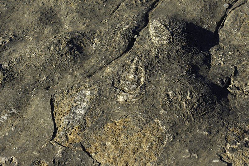 Fossils in exposed bare rock in the mountains of Musandam, Oman