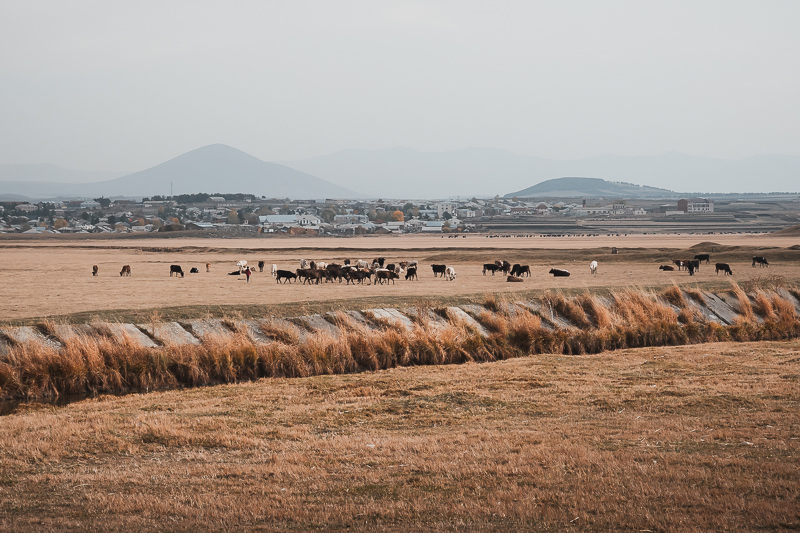 Cows graze on farmland with the town of Ninotsminda rising on agentle hill behind