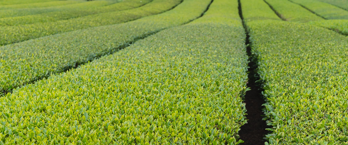 O'Sulloc Green Tea Fields stretching into the distance