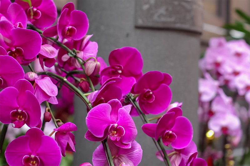 Longshan Temple: purple velvety orchids on display