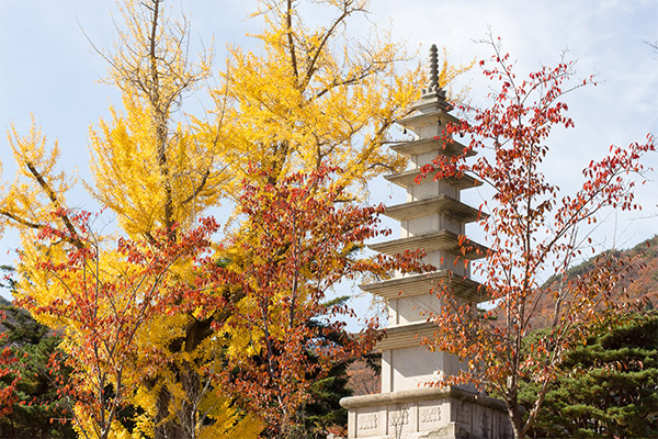 Busan City Guide: A golden Gingko Tree at Beomeosa Temple
