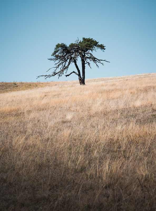 A lone tree standing on the grassy ridge on Day 2 of the Panorama Trail in Borjomi-Kharagauli National Park