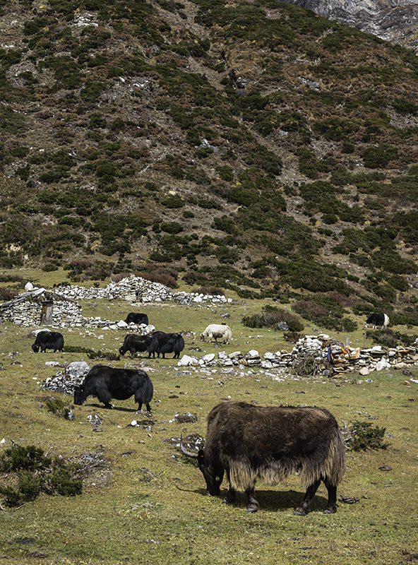 Shaggy yaks grazing in the high pasture near Pungen Gompa below Mount Manaslu