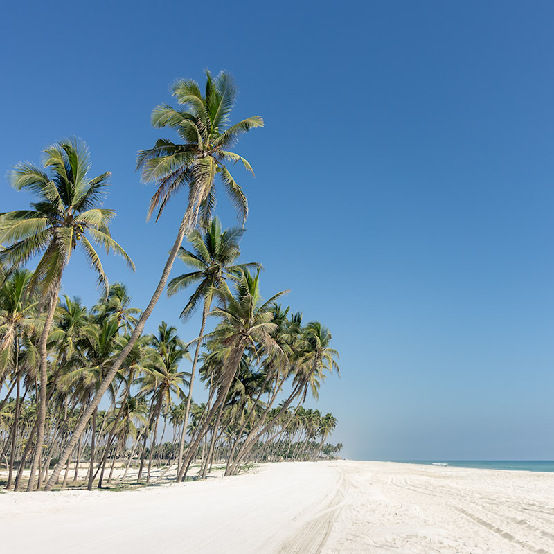 Tall green palm trees on the white sand of Salalah City beach with a blue sky background