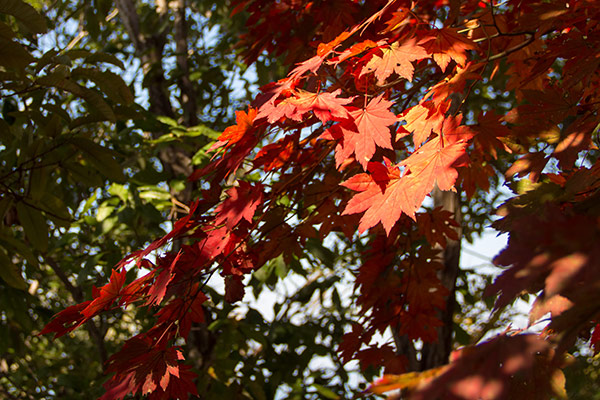 Maple Tree leaves in Autumn, Saryangdo Island Ridge Hike, Tongyeong, South Korea