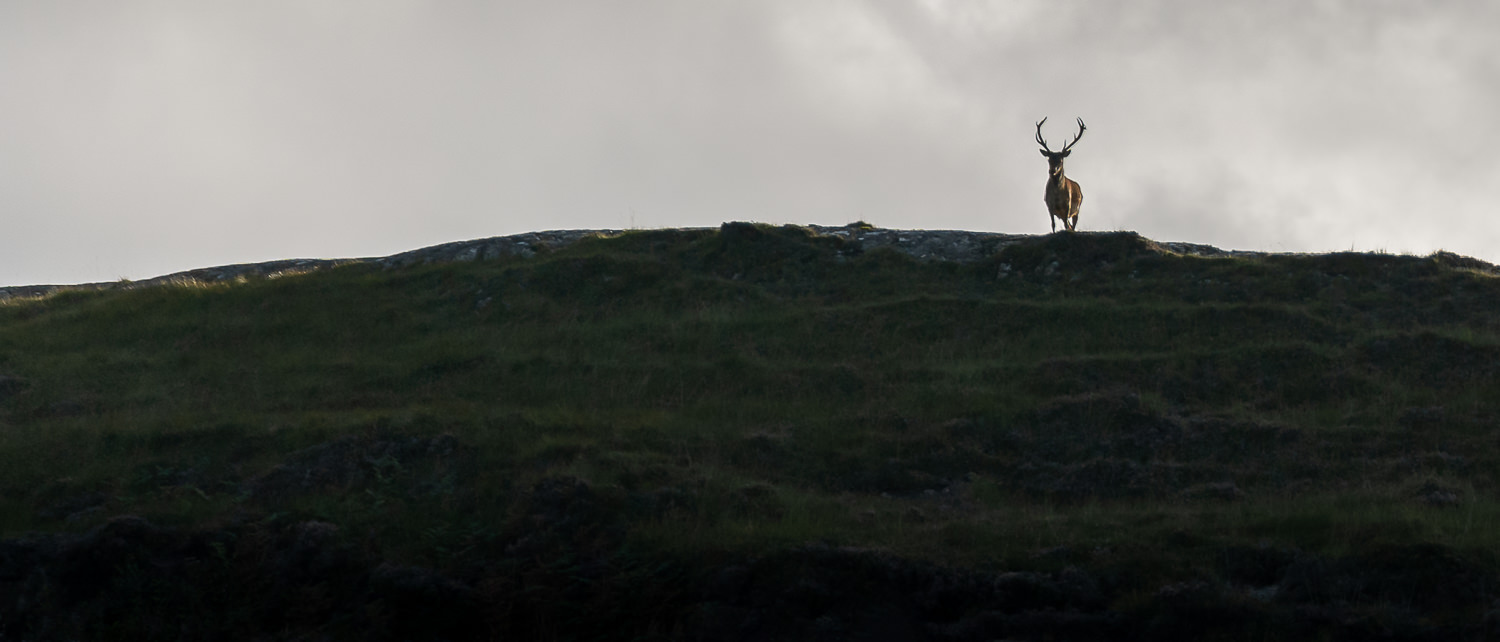 Close to sunset, a lone stag stands on a hilltop above Kilmory Bay on the Isle of Rum