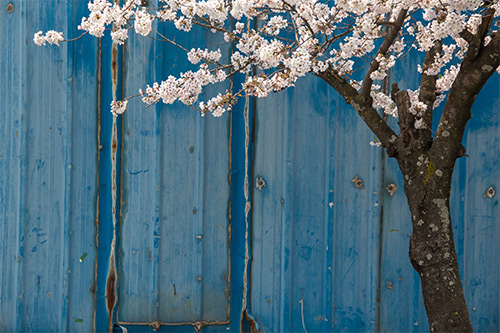 Cherry Blossom tree against an old blue iron wall, Tongyeong, South Korea