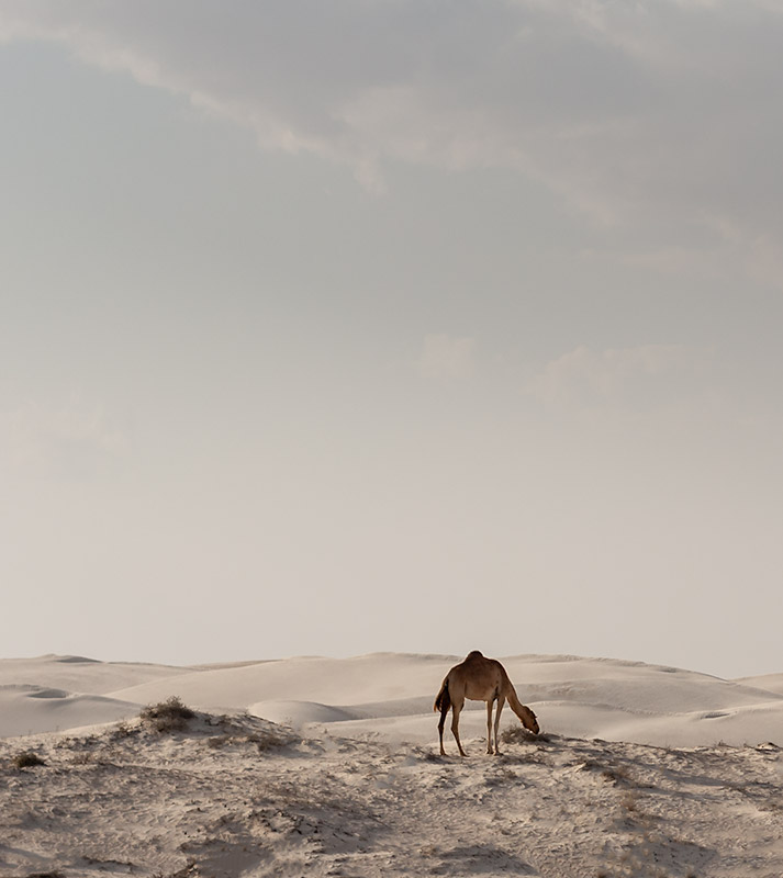 Camels eat the low grass bordering the Sugar Dunes in Oman