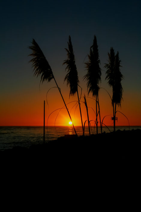A photographic journey: Pampas Grass in silhouette at sunset, Fort Bragg, Mendocino County, California, USA