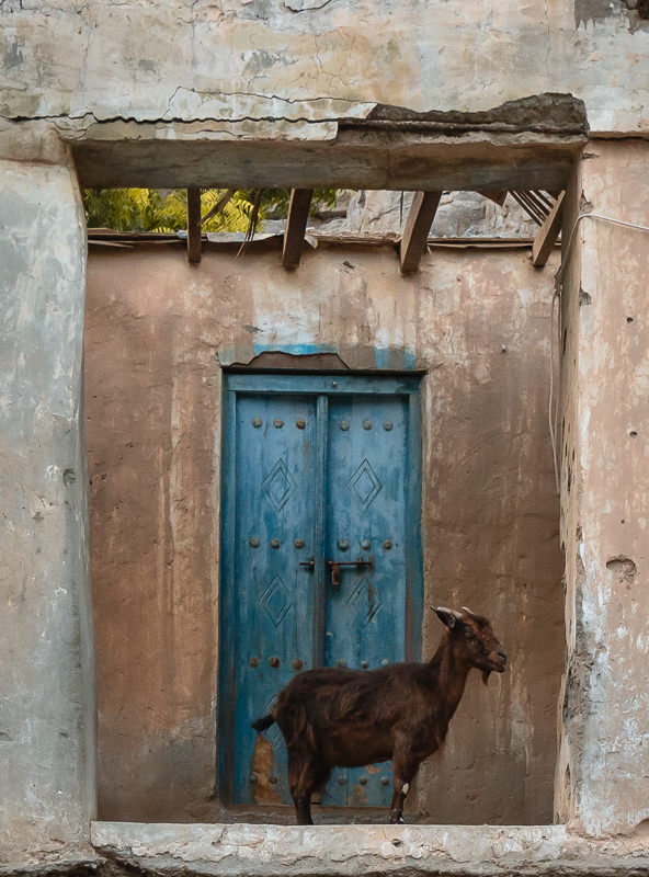 A goat standing in front of an old blue door in the frame of a derelict building in Tawi Village in Musandam
