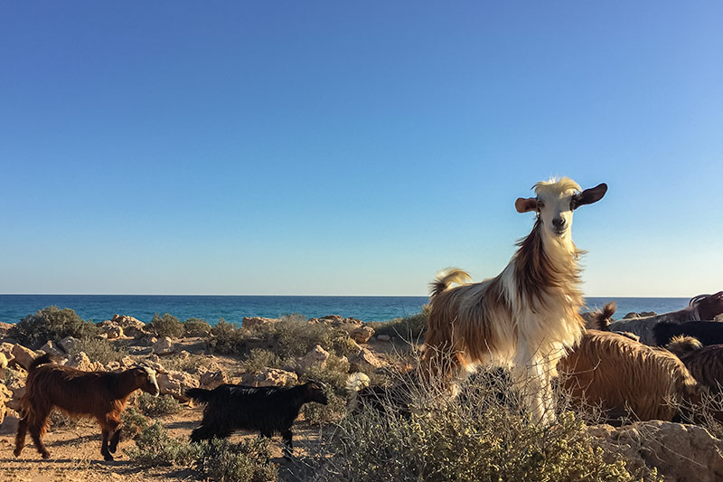 A goat stands out from the crowd and poses for a picture on the coast near Fins, Oman. A regular occurence at campsites in Oman.