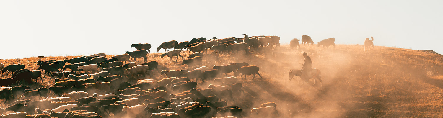 Goat herd & herdsman in late afternoon sun