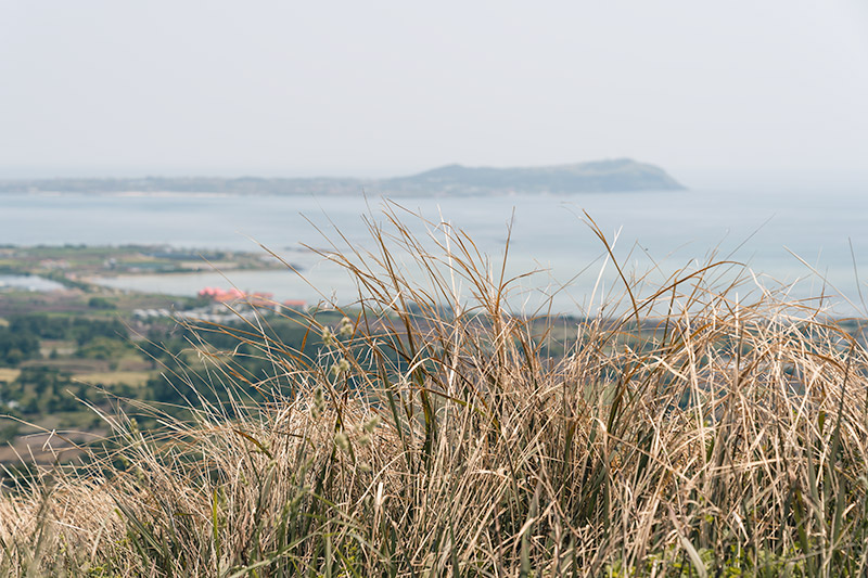 A close up of long beige grass, with Udo Island out of focus in the distance